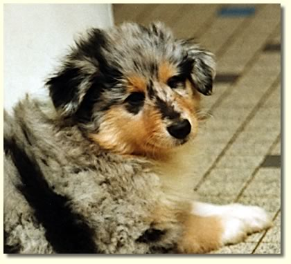 breeders of rough collies in sable tricolour and blue merle